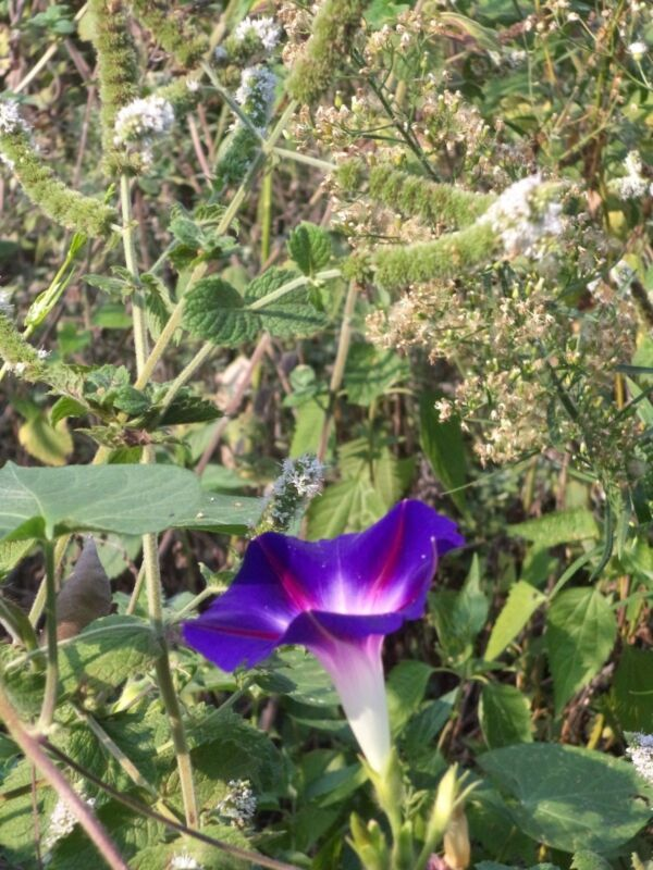 14+ MORNING GLORY -- USA mixed color seeds! Dark Purple, Pink, others!