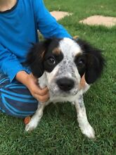 Gorgeous 4mnth Female Cavalier King Charles x Stumpy Tale Cattle Puppy D'aguilar Moreton Area Preview