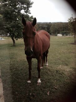 Chestnut mare 14hh Jilliby Wyong Area Preview