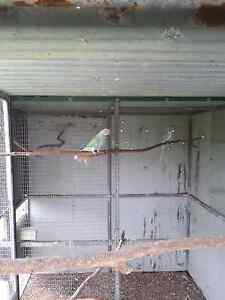 Indian Ringnecks for sale Park Ridge Logan Area Preview
