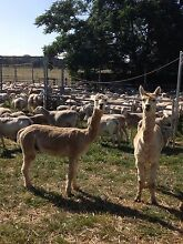 Alpacas free to good home Eumungerie Dubbo Area Preview