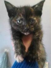 2 adorable kittens Wentworthville Parramatta Area Preview