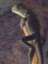 Juvenile Gippsland Water Dragon lizards for sale Bellfield 3081 Banyule Area Preview