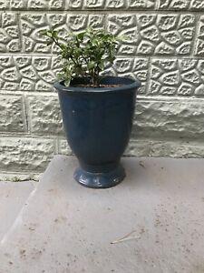 Ceramic Garden pot with healthy Gardenia plant