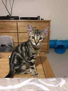Beautiful Rescue Kitten for Adoption Wavell Heights Brisbane North East Preview