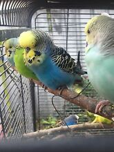 Vibrant coloured budgies Lakemba Canterbury Area Preview
