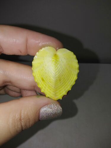Rare Coloured corculum cardissa sea shells, true heart cockle. #2