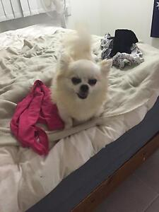Male long coat Chihuahua Townsville Townsville City Preview
