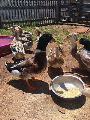 6 Silver Appleyard Duck Hatching Eggs