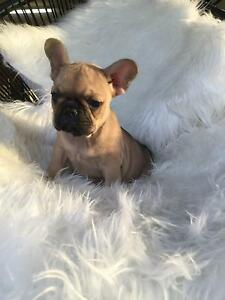 Purebred French Bulldog Puppies Brisbane City Brisbane North West Preview