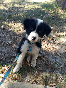 Puppy play dates wanted Buddina Maroochydore Area Preview