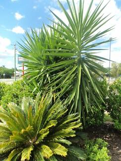 YUKKA & DRAGON TREE LANDSCAPE TREES FOR SALE