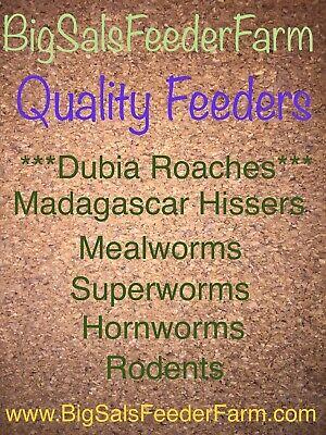 100 Medium Dubia Roaches CUPPED