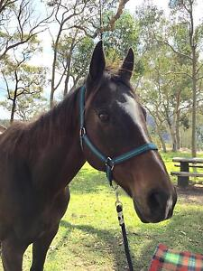 Thoroughbred - 16hh - lovely quite trail horse for sale Peats Ridge Gosford Area Preview
