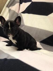 Female French Bulldog Puppies Caboolture Caboolture Area Preview