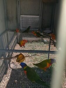 Lorikeet mutations | Birds | Gumtree Australia Ipswich