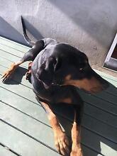Prue breed Doberman free to good home Mount Warren Park Logan Area Preview