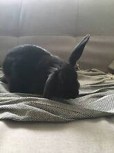 Rabbit sitter from 20/12 - 11/01 for 1 bunny Forrestfield Kalamunda Area Preview