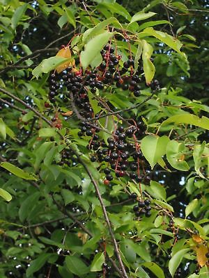 - 50+ Black Cherry Rum Cherry Mountain Cherry, FAVORITE FOR JAM, WINE, PRESERVES
