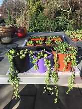 String of Pearls succulents Sandy Bay Hobart City Preview
