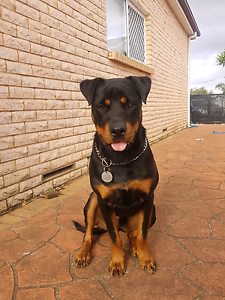 Dog ..Rottweiler Auburn Auburn Area Preview