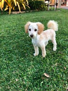 toy poodle puppies Maleny Caloundra Area Preview