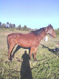 Stock Horse Gelding Coffs Harbour Area Preview