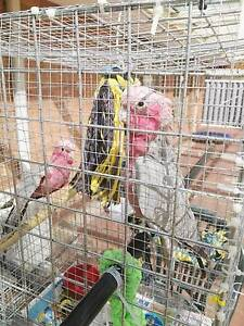 Baby hand tamed/hand reared Galahs Ballajura Swan Area Preview