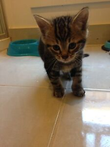2 kittens ready for new homes Melton Melton Area Preview