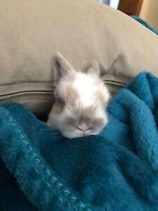 Mini loop bunnies Wyoming Gosford Area Preview