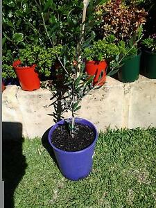 Olive Trees Canning Vale Canning Area Preview