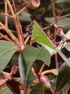 Spiny leaf insects $5 - $9 Ingle Farm Salisbury Area Preview