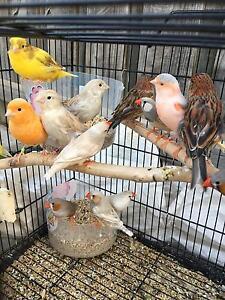 BIRDS FOR SALE Caroline Springs Melton Area Preview