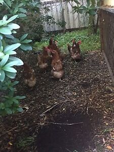 6 ISA brown chickens Maitland Maitland Area Preview