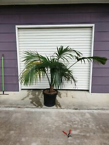 Large Kentia Palm indoor plant