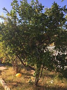 Lemon / lime tree Mullaloo Joondalup Area Preview