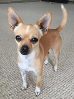 Chihuahua Dog Oberon Oberon Area Preview
