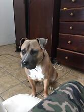 Missing dog - American staffy Vermont South Whitehorse Area Preview