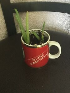 Aloe Vera Plant( price reduced)