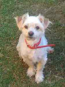Desexed male Maltese Terrier Sunnybank Brisbane South West Preview