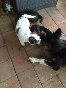Border collie x puppies Andrews Farm Playford Area Preview