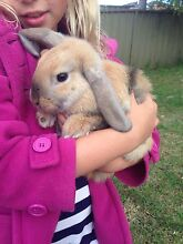 2 x female rabbits including hutches Padstow Bankstown Area Preview