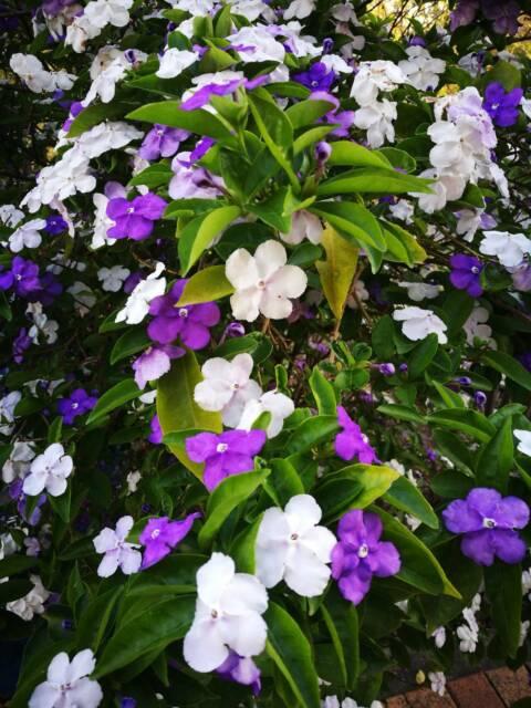 Brunfelsia Frangipane Bougainvillea Glabra Passion