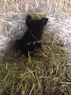 8 Border collie x kelpie pups for sale Rosewood Ipswich City Preview