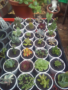 Succulent plants/cacti Bidwill Blacktown Area Preview