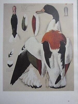 BEAUTIFUL TUNNICLIFFE BIRD PRINT ~ SHELDUCK MALE
