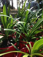 Agapanthus for sale Roleystone Armadale Area Preview