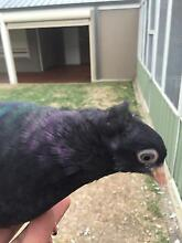 Pigeon, Serbian, high flyers Noble Park Greater Dandenong Preview