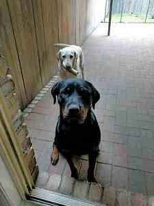 Free to good home: 1 Y/O Rottweiler Male Grafton Clarence Valley Preview