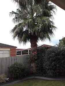 Healthy Palm Tree For Sale Hampton Park Casey Area Preview
